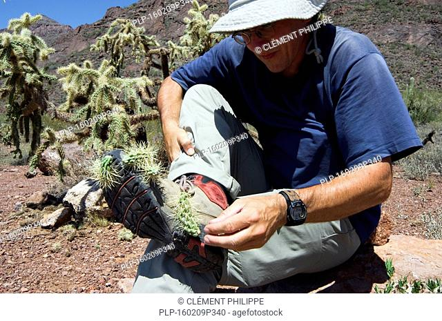 Hiker removes fallen spiny fruit of the hanging chain cholla / jumping cholla (Cylindropuntia fulgida / Opuntia fulgida) from shoe