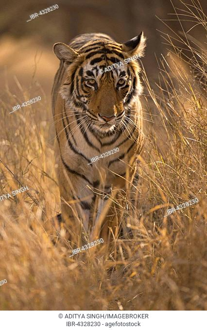 Wild Bengal Tiger (Panthera tigris tigris) between golden grass in the dry forests, Ranthambhore National Park, India