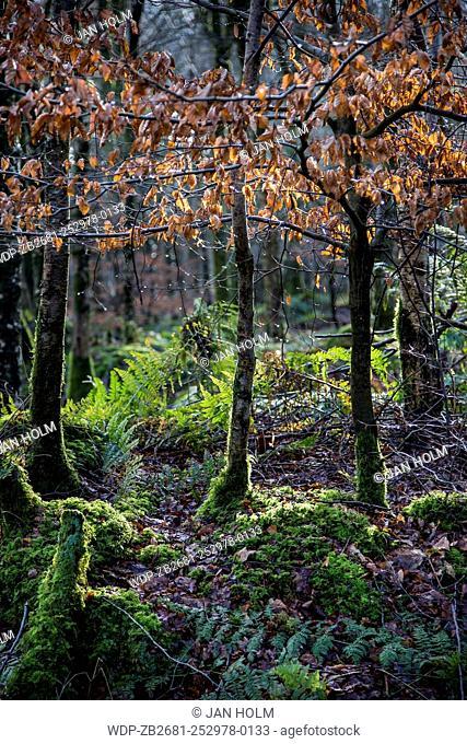 Winter Beech & Ferns in Highland forest