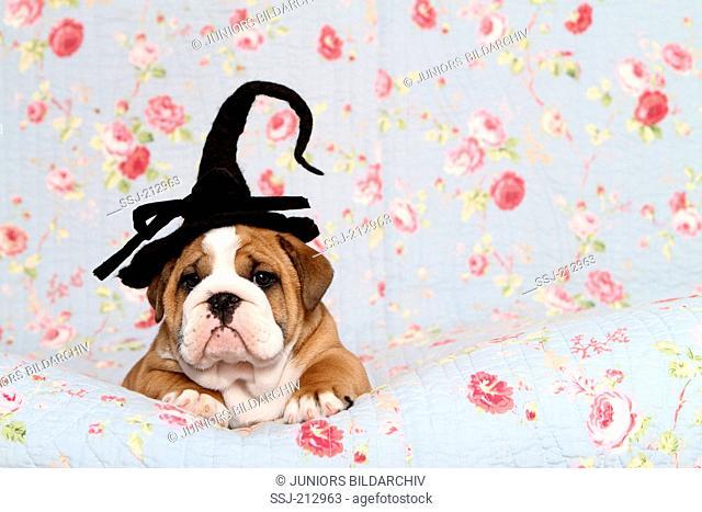 English Bulldog. Puppy (7 weeks old) wearing a witch hat on its head lying on a blue blanket with rose flower print. Germany