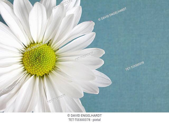 Close-up view of daisy flower head on blue background
