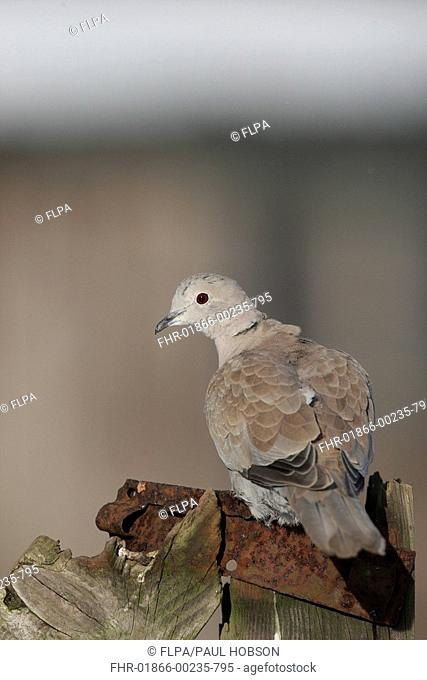Eurasian Collared Dove Streptopelia decaocto adult, perched on gatepost, Peak District, Derbyshire, England, winter