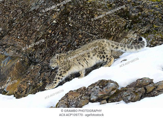 Snow Leopard, Panthera uncia, in snow and rocks. Endangered species. Captive animal