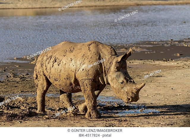 Square-lipped rhinoceros (Ceratotherium simum), young animal after mud bath, Aquila Private Game Reserve, Western Cape, South Africa