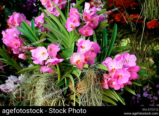 Marvellous Orchid, Vanda Orchid, Orchid Flower in the garden, borneo, asia