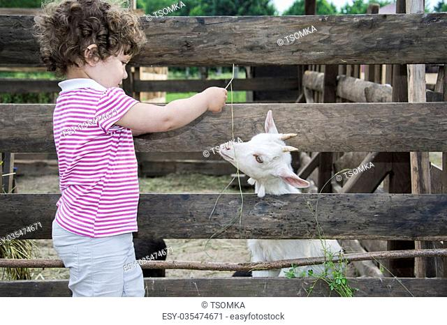 In summer, the village in the courtyard of a small curly-haired girl feeding grass little white kid