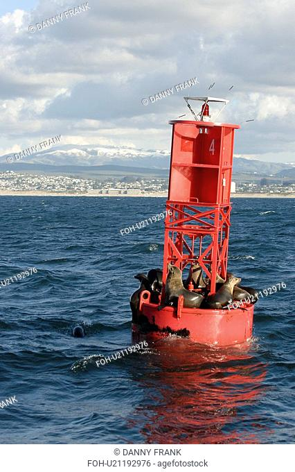 California sea lion Zalophus californianus hauled out on buoy to rest in front of a snow covered mountain mount Toro Monterey Bay, California, Pacific Ocean
