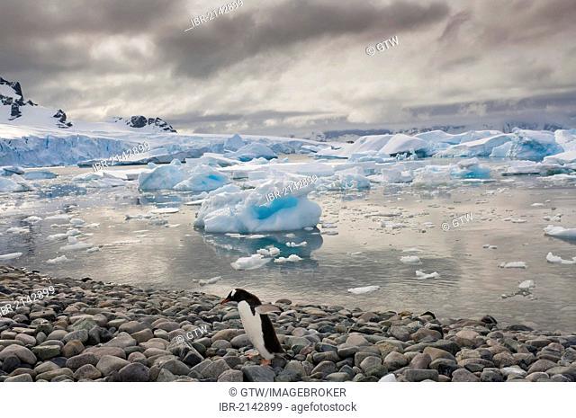 Gentoo Penguin (Pygoscelis papua) on the beach, Cuverville Island, Antarctic Peninsula