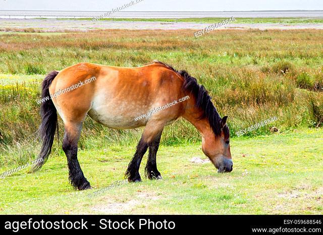 Pferd auf der Weide auf der ostfriesischen Nordseeinsel Juist in Deutschland, Europa. Horse on the salt marshes of the north sea island Juist in East Frisia
