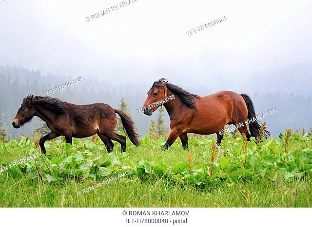 Ukraine, Ivano-Frankivsk region, Verkhovyna district, Carpathians, Chernohora, Horses in mountain pasture