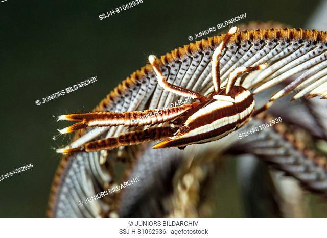 Crab (Allogalathea elegans) sitting on the arm of a crinoidd.