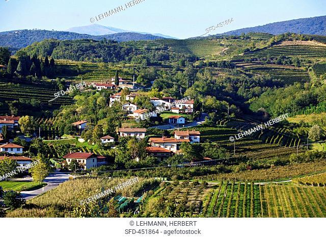 Landscape of vines near Dobrovo, Slovenia