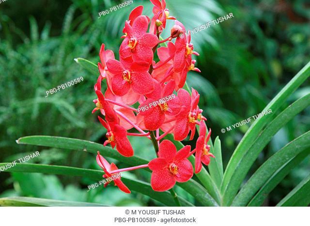 Orchid Himantoglossum adriaticum flower, Bangladesh October 2008