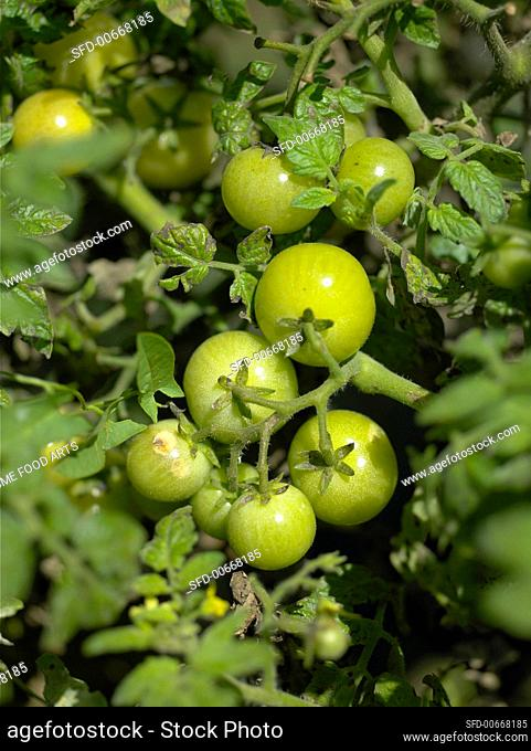 Several green tomatoes on the plant