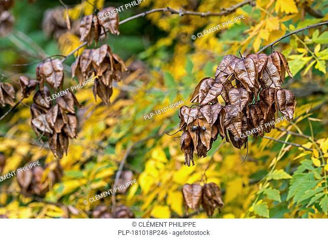 Seed pods and leaves of goldenrain tree / pride of India / China tree / varnish tree (Koelreuteria paniculata) native to eastern Asia, China and Korea