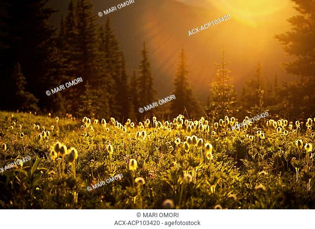 The hairy bulbs of the Pasqueflower glows in the sunset along the Heather trail in Manning Park