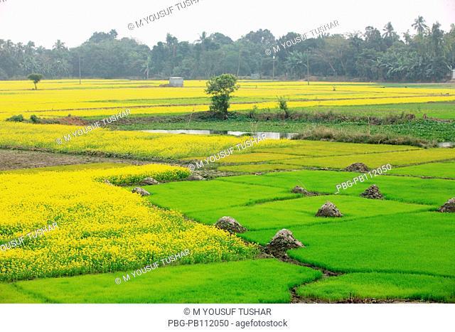 mustard field Bangladesh Manikgonj, Bangladesh
