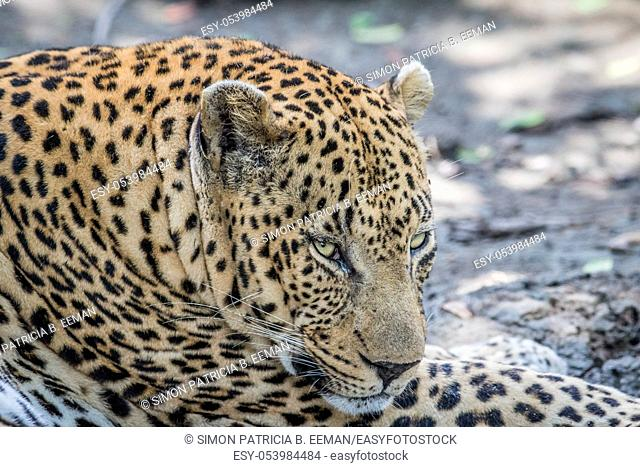 Side profile of a male Leopard in the Kruger National Park, South Africa
