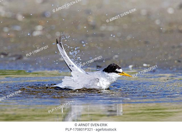 Little tern (Sternula albifrons / Sterna albifrons) bathing and splashing in shallow water