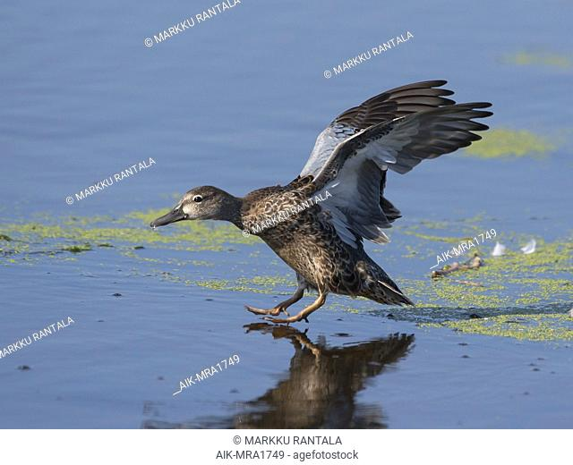 Side view of a female plumaged Blue-winged Teal (Spatula discors) landing. USA