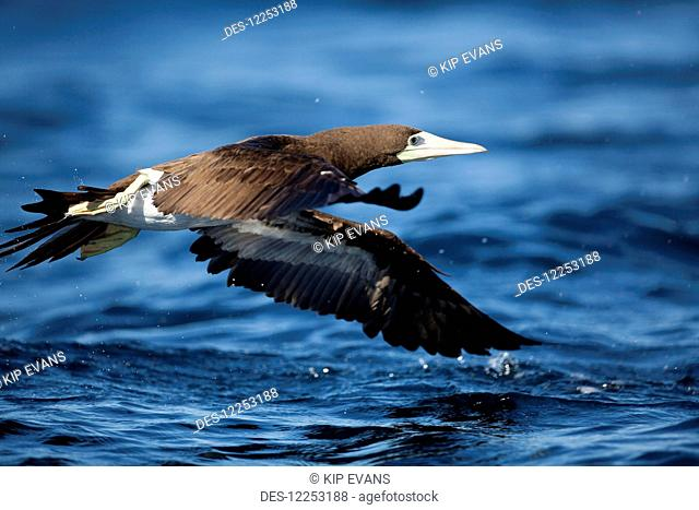 Brown Booby (Sula leucogaster) flying over the Sea of Cortez almost touching the water; Kino, Mexico