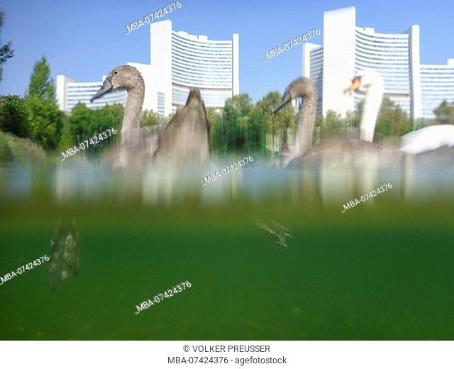 Vienna, family mute swan cygnets (Cygnus olor) at lake Kaiserwasser, Vienna International Center (UNO), 22. Donaustadt, Wien, Austria