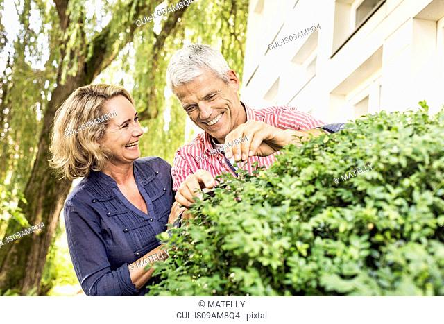 Husband and wife pruning bush with secateurs