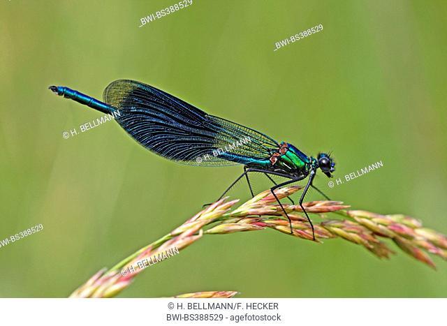 banded blackwings, banded agrion, banded demoiselle (Calopteryx splendens, Agrion splendens), male sitting on a grass ear, Germany