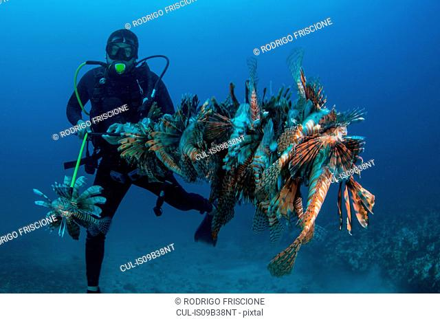 Diver collects invasive lionfish from local reef