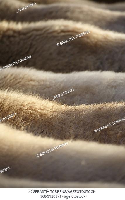 View of a set of sheep, Escorca, Majorca, Balearic Islands, Spain