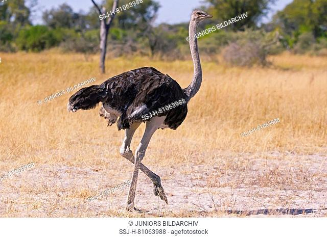 Ostrich (Struthio camelus), male