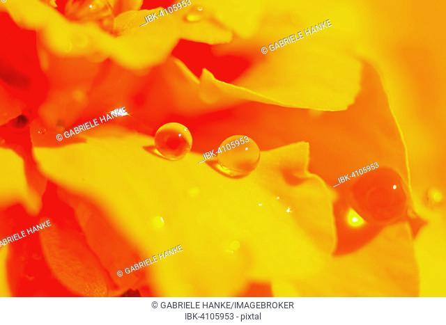 Dewdrops on a blooming orange Tagetes flower (Tagetes)