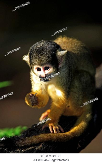 Common Squirrel Monkey,Saimiri sciureus,South America,adult feeding on tree