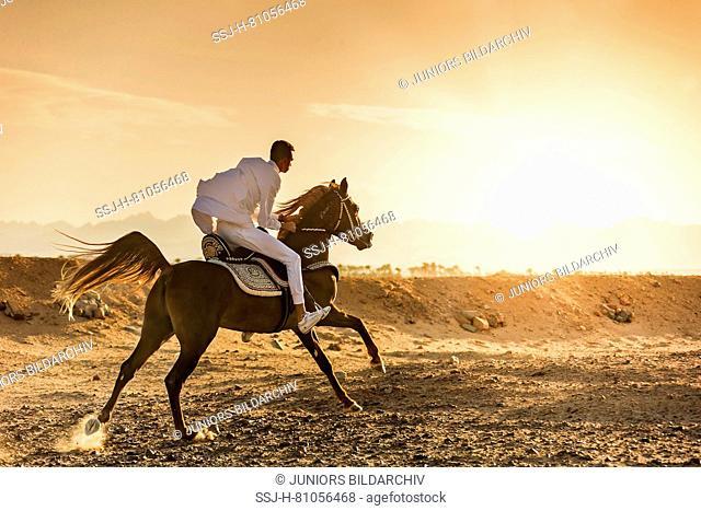 Arabian Horse. Rider in traditional dress on chestnut stallion galloping in the desert at sunset. Egypt