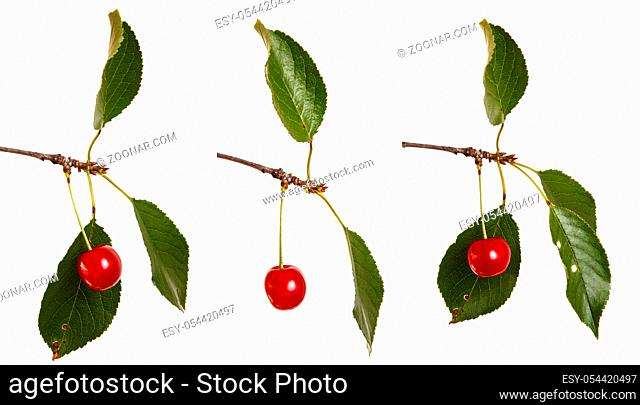 A ripe cherry on a branch. Isolated on white background