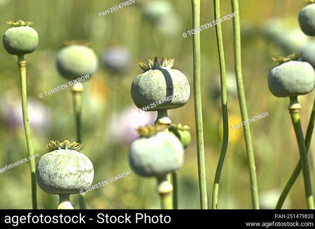 Schleswig, the capsules of the opium poppy (Papaver somniferum) in a wildflower bed on a vacant private property. Eudicotyledons