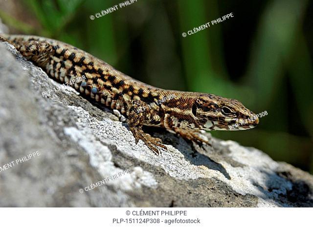 Common wall lizard / European wall lizard (Podarcis muralis) male basking on rock