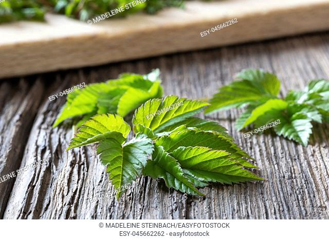 Young ground elder leaves on a wooden table