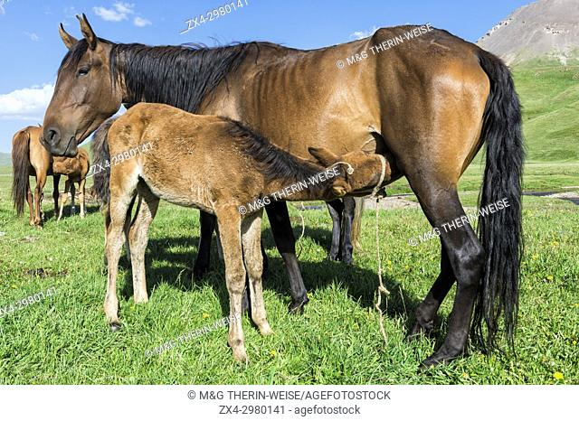 Foal suckling a mare, Song Kol Lake, Naryn province, Kyrgyzstan, Central Asia