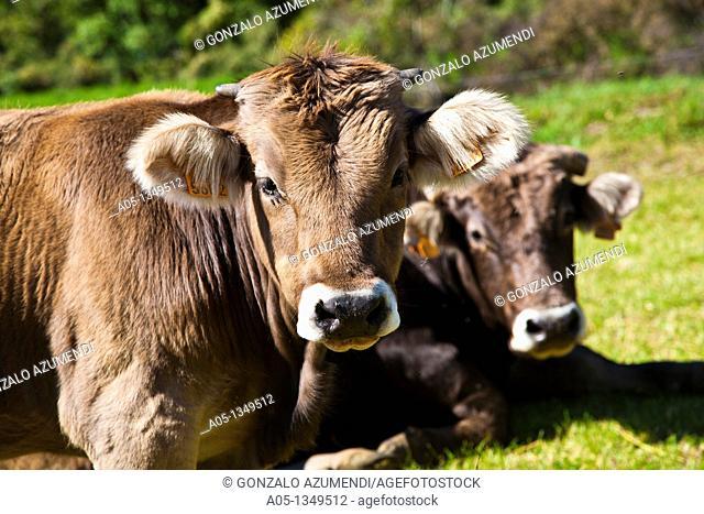 Cows  Camí de l'Aigua  Barruera  Boi-Taull Valley  Alta Ribagorça Region Peripheric area. Aigüestortes i Estany de Sant Maurici National Park