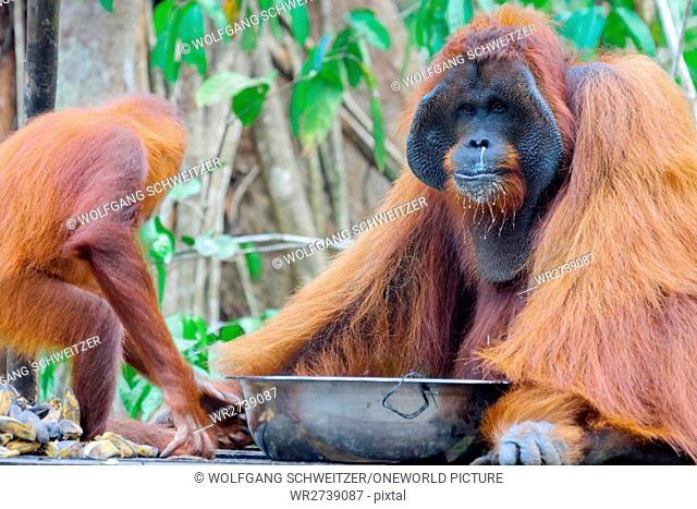 Indonesia, Kalimantan, Borneo, Kotawaringin Barat, Tanjung Puting National Park, Orangutan Father with Child, Orangutan (Pongo pygmaeus) male