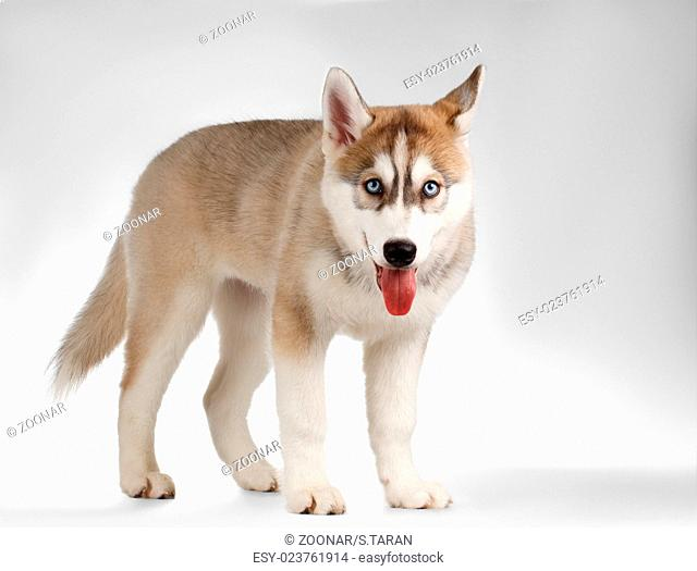 Siberian Husky Puppy Stands and Curious Looking on White
