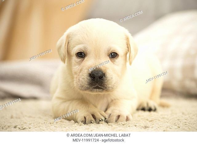 Labrador Dog, puppy
