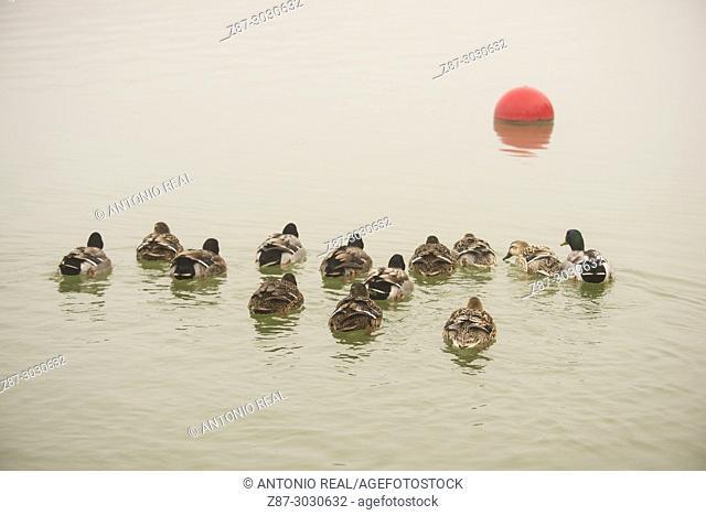 Mallard (Anas platyrhynchos). Almansa Reservoir. Albacete province. Spain