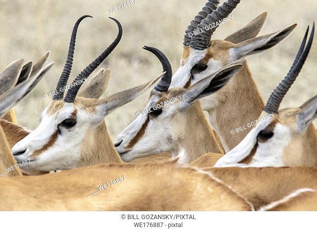Close-up of Springbok heads and horns (Antidorcas marsupialis) - Etosha National Park, Namibia, Africa
