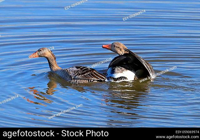 Greylag gooses shortly after the underwater mating, hen goose resurfaced, gander looking tender and thankful to her, picture 3 from 3