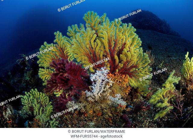 Mediterranean Gorgonian, Paramuricea clavata, Susac, Adriatic Sea, Croatia