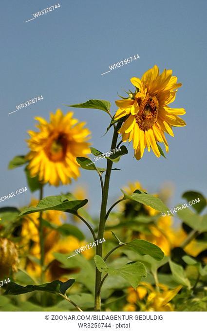 Sonnenblume blühend, mit blauem Himmel