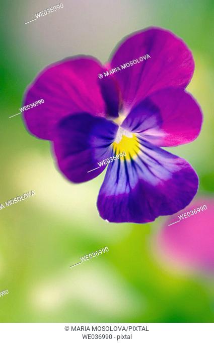 Viola tricolor. Garden trio. Maryland, USA
