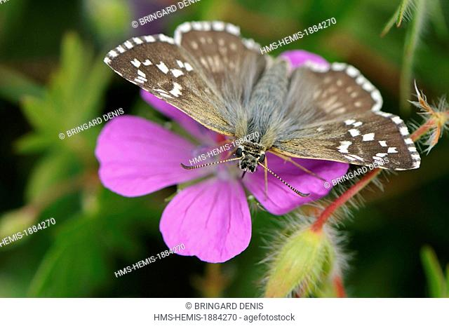 France, Haut Rhin, near Rouffach, limestone hill, Pyrgus malvae adult on blood Geranium